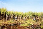 Sugarcane and Sustainability