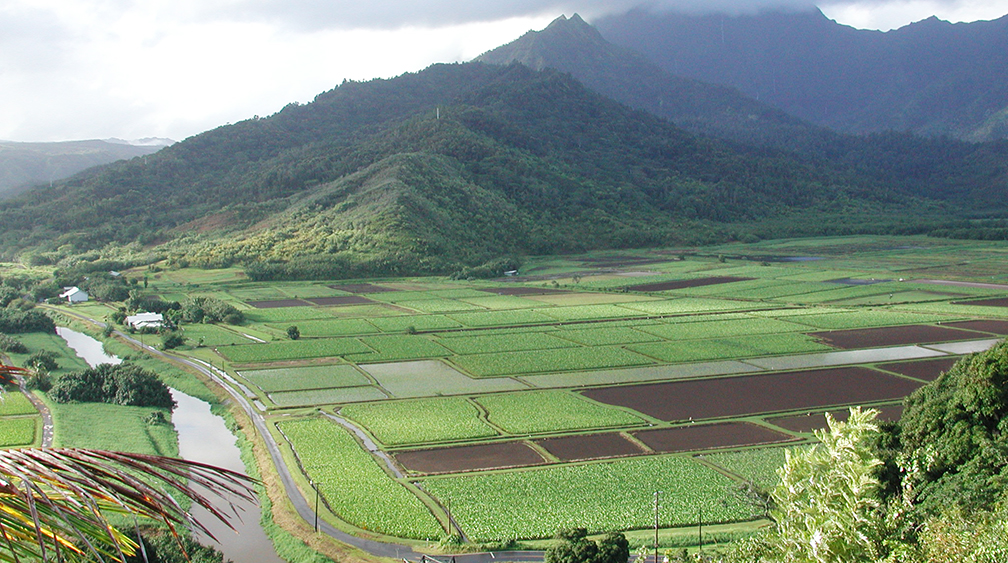 Hawaiian Taro Fields of Hanalei Kauai with mountains in the background.
