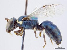 Hylaeus albonitens