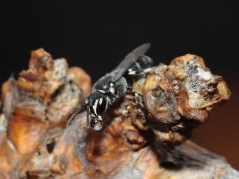 Hylaeus strenuus