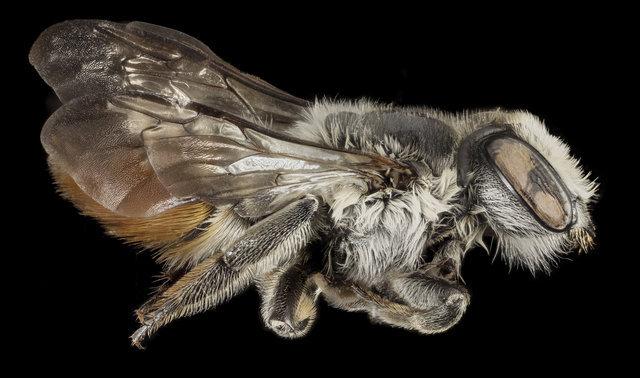Megachile chlorura