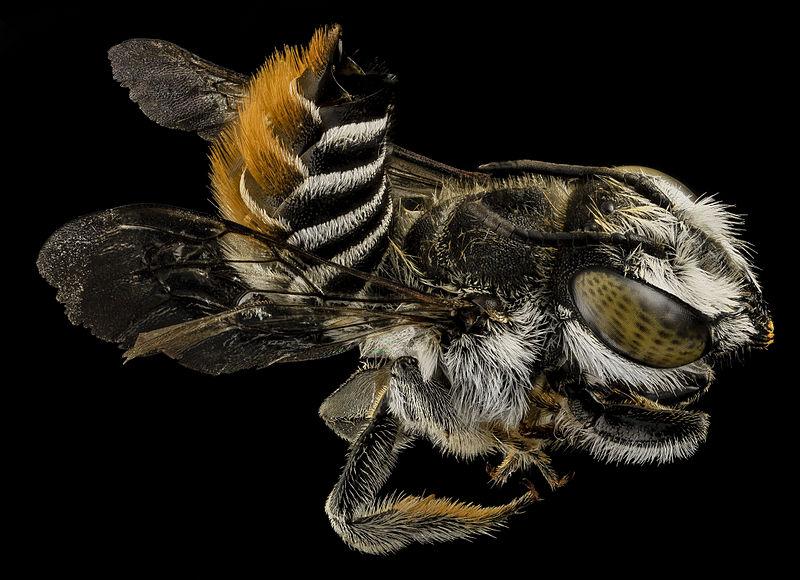 Megachile fullawayi