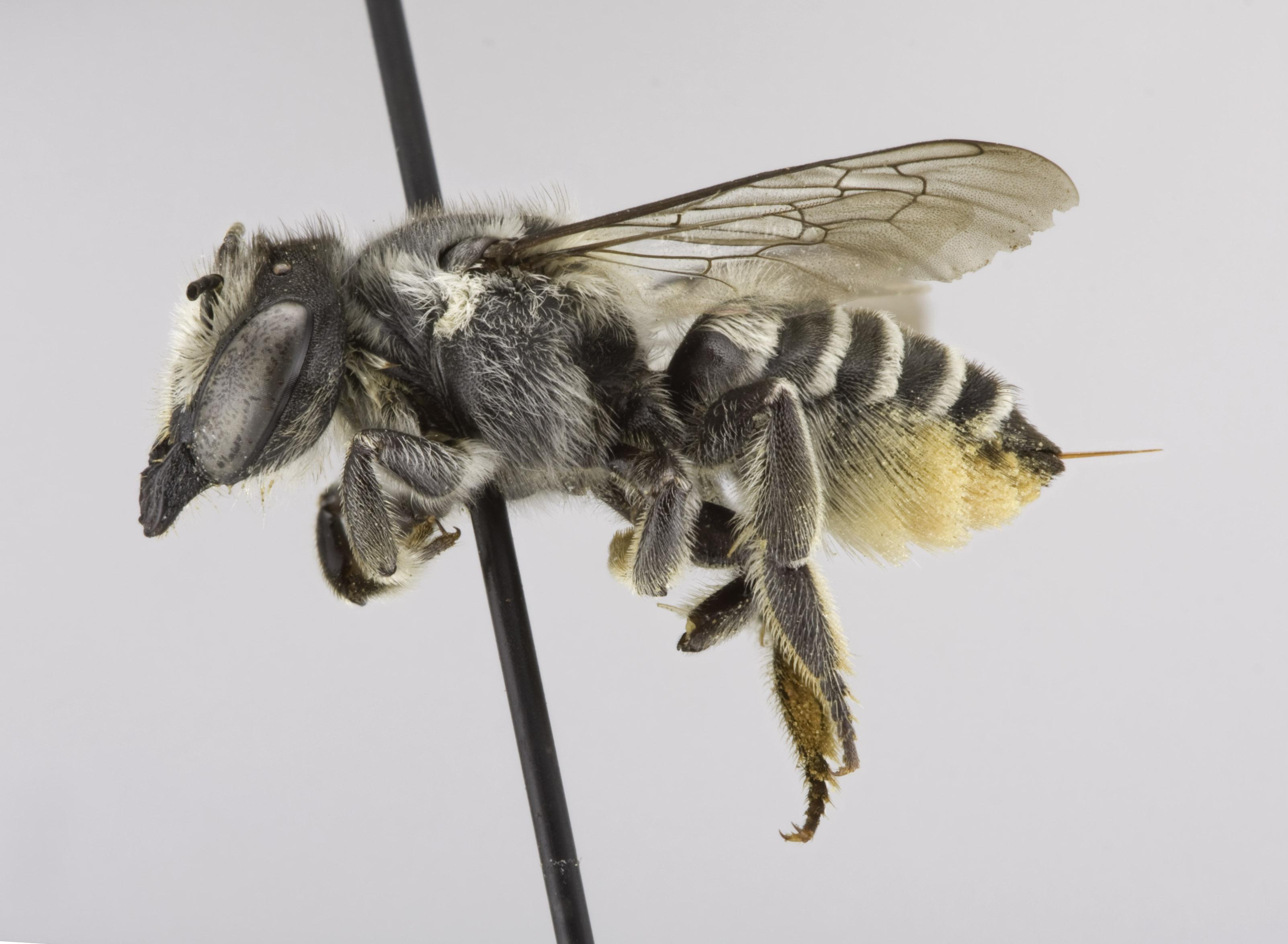 Megachile gentilis