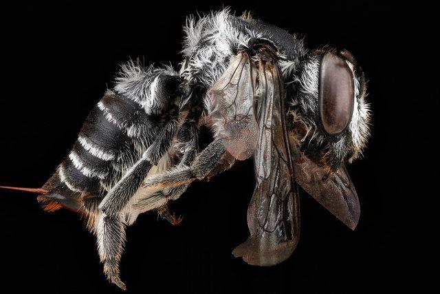 Megachile timberlakei