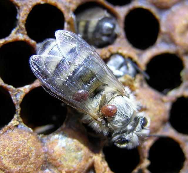 Varroa mite on worker adult