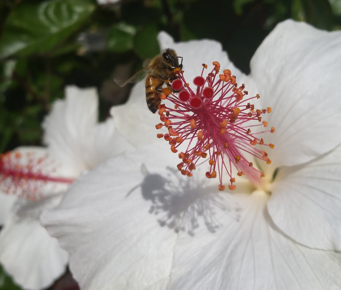 Plants for bees in hawaii hawaii is home to around 70 species of native bees hylaeus sp and an additional 19 species of introduced bees including honey bees izmirmasajfo