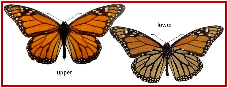 Female Versus Male Monarch Butterfly | galleryhip.com - The Hippest ... Queen Butterfly Vs Monarch